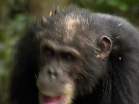 CU, Adult chimp (Pan troglodytes) walking, headshot, Gombe Stream National Park, Tanzania