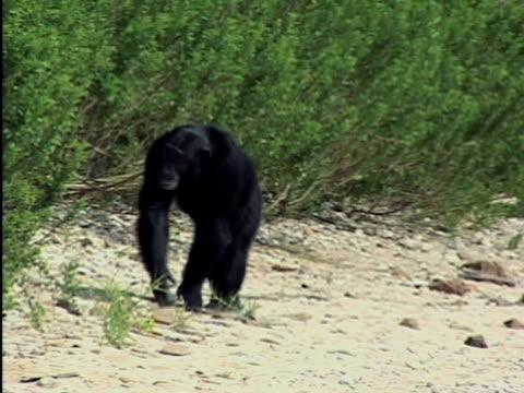 ws, adult chimp (pan troglodytes) walking on beach, gombe stream national park, tanzania - common chimpanzee stock videos & royalty-free footage