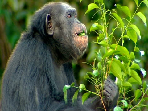 cu adult chimpanzee sitting and picking off leaves to eat, chewing - common chimpanzee stock videos & royalty-free footage