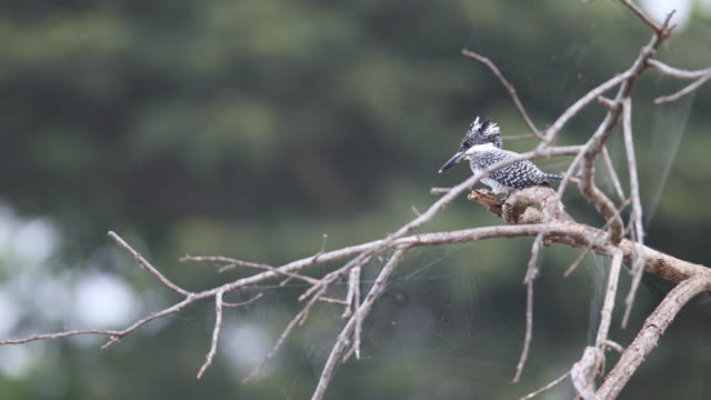 adult crested kingfisher (megaceryle lugubris) - twig stock videos & royalty-free footage