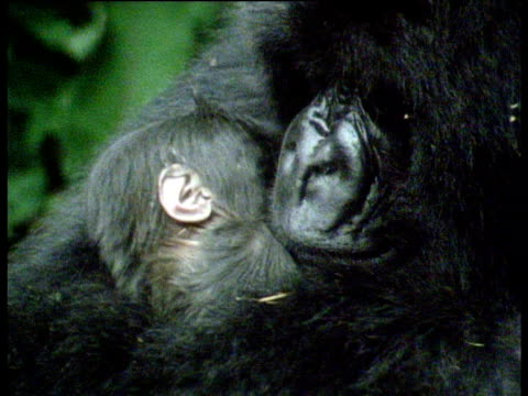 adult cuddles and kisses sleeping baby mountain gorilla - hot kiss stock-videos und b-roll-filmmaterial