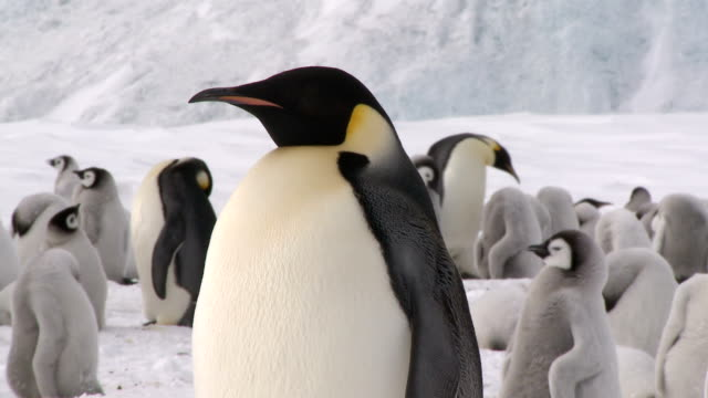 adult emperor penguin closeup - south pole stock videos and b-roll footage