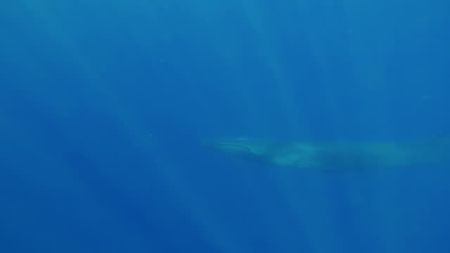 adult fin whale swims past the camera, atlantic ocean, the azores. - fin whale stock videos & royalty-free footage