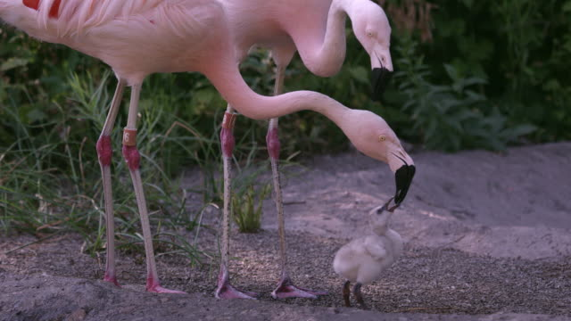 adult flamingo feeding its young baby chick - flamingo chick stock videos & royalty-free footage
