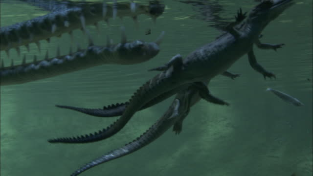 Adult Gharial swims past infants at surface, Madras Crocodile Bank Trust, India Available in HD.