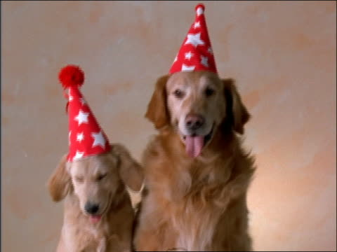 Adult golden retriever with puppy sitting in studio wearing party hats