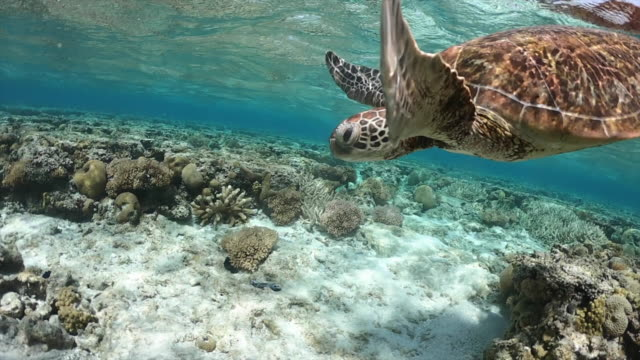 stockvideo's en b-roll-footage met adult green turtle swimming over reef and coming up to take a breath on the surface. - soepschildpad