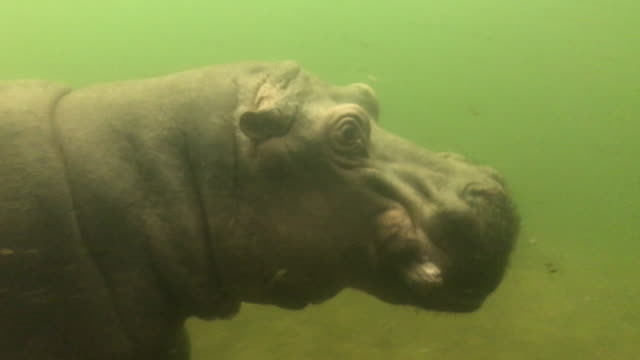 adult hippopotamus filmed underwater - hippopotamus stock videos & royalty-free footage