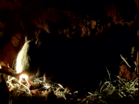Adult hopping mouse leaves nest of babies in burrow, Northern Territory
