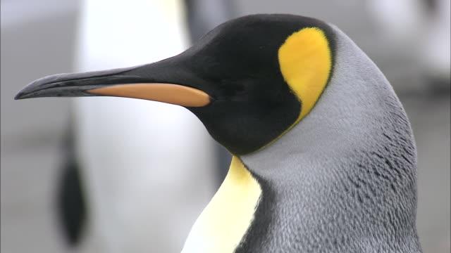 CU Adult king penguin head AUDIO / Gold Harbour, South Georgia, Antarctica