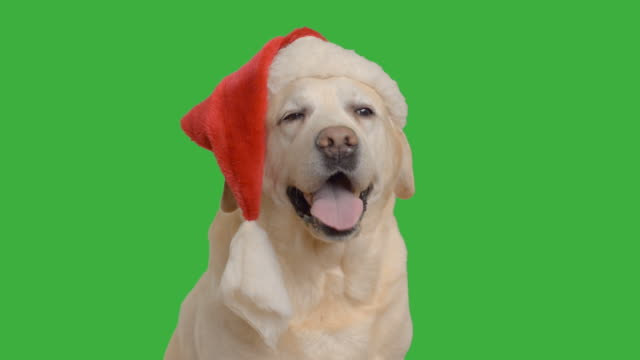 adult labrador sitting in a cap of Santa Claus
