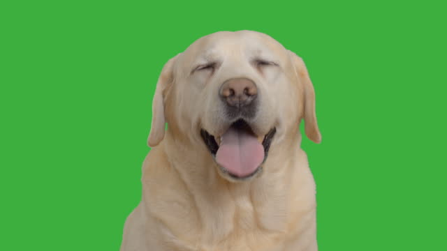adult labrador sitting on the green screen