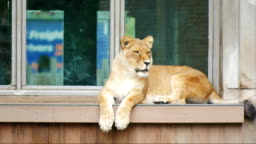 Adult lion sitting on the windowsill of an old building