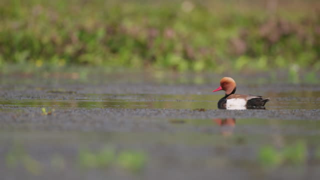 adult male red-crested pochard (netta rufina) - aquatic plant stock videos & royalty-free footage