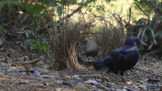 adult male satin bowerbird (ptilonorhynchus violaceus) displays to juvenile male, australia - bird's nest stock videos & royalty-free footage