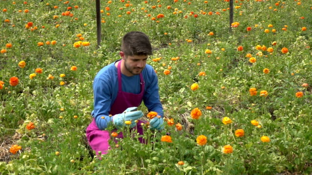 Adult Man Working In Modern Cut Flower Greenhouse
