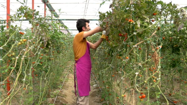 adult man working in modern tomato greenhouse - selimaksan stock videos & royalty-free footage