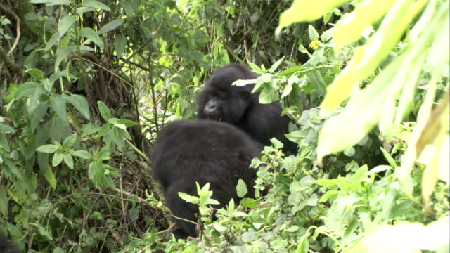 Adult mountain gorillas fight around others resting. Available in HD.