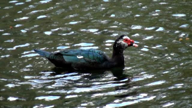 vídeos de stock e filmes b-roll de adulto pato-do-mato a desfrutar de manhã cedo banho - water's edge