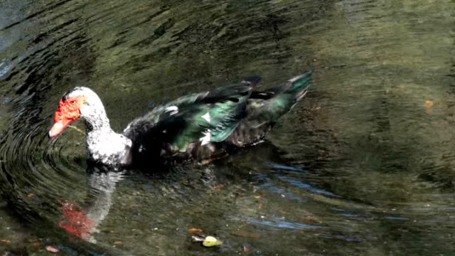 30 Top Muscovy Duck Video Clips & Footage - Getty Images