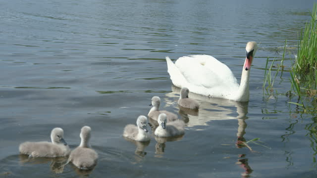 adult mute swan on a lake feeding with cygnets - lake stock videos & royalty-free footage