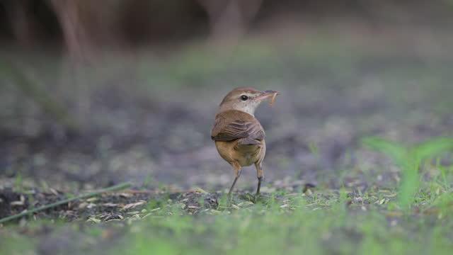 adult oriental reed warbler (acrocephalus orientalis) - insect stock videos & royalty-free footage