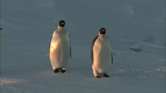 ms adult penguins on sea ice / ekstrã¶m ice shelf,atka iceport emperor penguin colony,  queen maud land, antarctica - kleine gruppe von tieren stock-videos und b-roll-filmmaterial