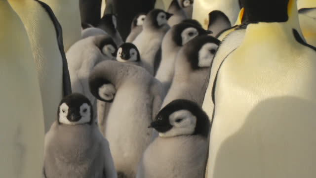 Adult penguins protect their young