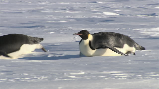 ms ts adult penguins sliding on belly and standing / ekstrã¶m ice shelf,atka iceport emperor penguin colony,  queen maud land, antarctica - rutschen stock-videos und b-roll-filmmaterial