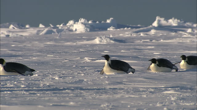 ms adult penguins sliding on belly / ekstrã¶m ice shelf,atka iceport emperor penguin colony,  queen maud land, antarctica - 滑る点の映像素材/bロール