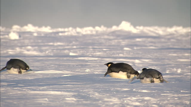 ws adult penguins sliding on belly / ekstrã¶m ice shelf,atka iceport emperor penguin colony,  queen maud land, antarctica - ペンギン点の映像素材/bロール