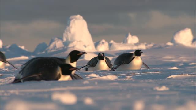 MS Adult penguins sliding on belly / Ekström Ice Shelf,Atka Iceport Emperor Penguin Colony,  Queen Maud land, Antarctica