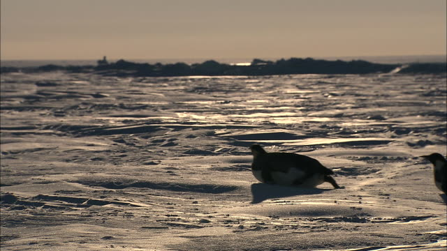 MS Adult penguins sliding on belly / Ekstrom Ice Shelf, Atka Iceport Emperor Penguin Colony,  Queen Maud land, Antarctica
