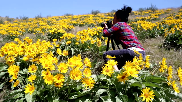 adult photographing arrowleaf balsamroot flower - common sunflower stock videos & royalty-free footage