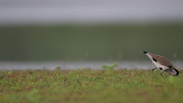 adult river lapwing (vanellus duvaucelii), - tierkörper stock-videos und b-roll-filmmaterial