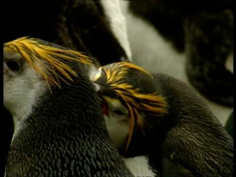 cu adult royal penguins preening each other, antarctica - preening stock videos & royalty-free footage