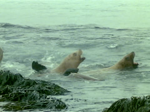 vídeos de stock, filmes e b-roll de adult sea lion in water. cows in w/ pups, swimming, kelp-covered rocks fg. - vazante
