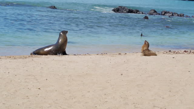 adult seal and seal pup look around sunny beach with turquoise waves - galapagos islands, ecuador - seal pup stock videos & royalty-free footage