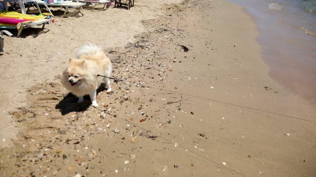 adult shetland sheepdog scary of water - runaway stock videos & royalty-free footage