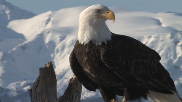 adult white-tailed bald eagle stands on a tree - homer alaska stock videos & royalty-free footage
