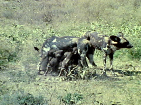 Adult wild dog pack members pups on open plain