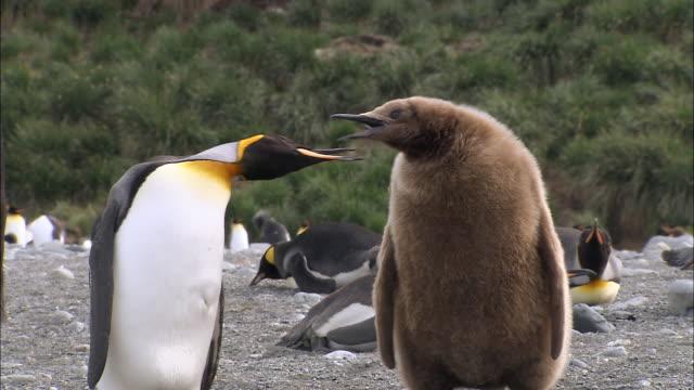 vídeos y material grabado en eventos de stock de ms adults king penguins and chicks audio / gold harbour, south georgia, antarctica - pingüino cara blanca