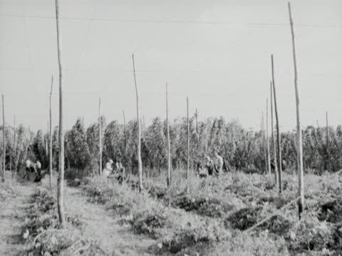 adults pick hops in a field while a baby lies in a pram - イングランド ケント点の映像素材/bロール