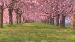 Advance forward sakura cherry blossoms in full bloom