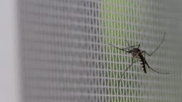 Aedes aegypti Mosquito. Close up a Mosquito on mosquito wire screen