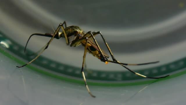 aedes mosquito - virus zika video stock e b–roll