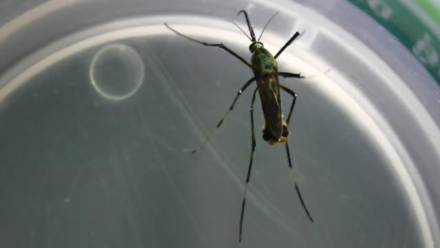vidéos et rushes de moustique du genre aaedes - virus zika