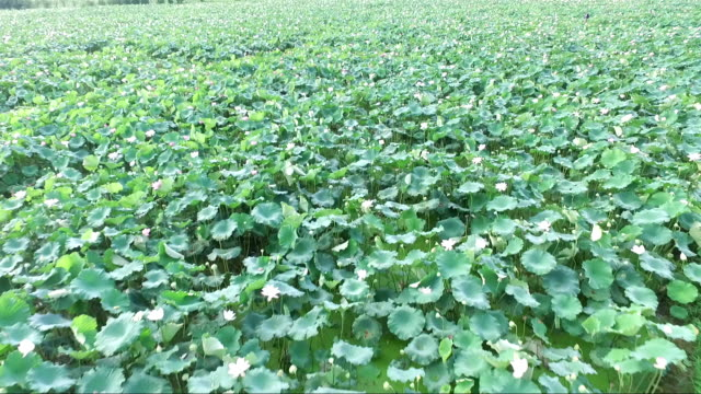 aeral view of lotus field in guangchang county in fuzhou city - sacred lotus stock videos and b-roll footage