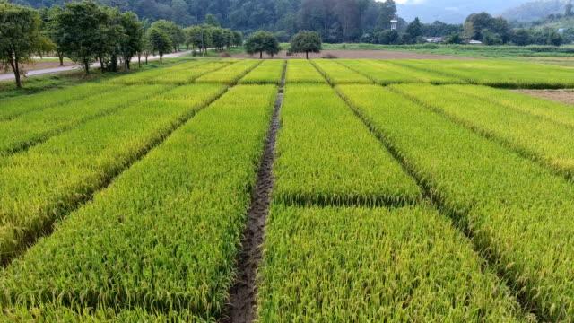 aerial 4k, jasmine rice field. - rice stock videos & royalty-free footage