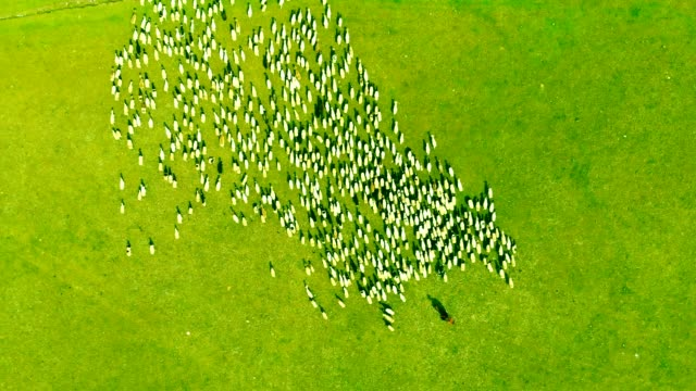 aerial above view sheep on farm - herding stock videos & royalty-free footage